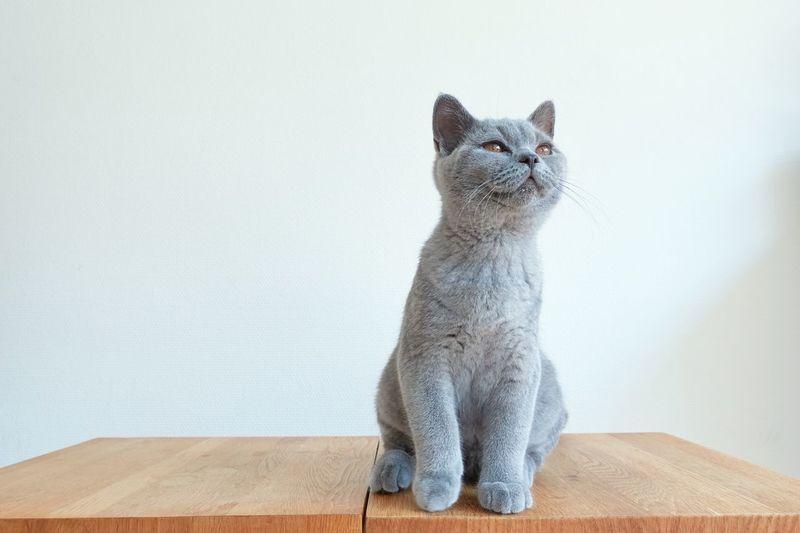 Cat smells something British Shorthair Pets Domestic Cat Cat Feline