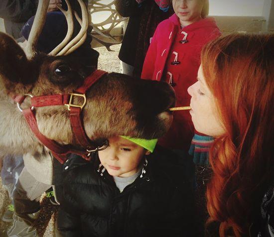 Reindeer Reindeers Reindeer Sighting Kissing Feeding  Wildlife Precious Brown Reindeer Antlers Red