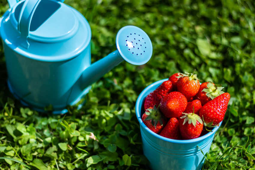 Water the fruit MR7 Berry Fruit Blue Bucket Canon Container Cup Day Focus On Foreground Food Food And Drink Freshness Fruit Garden Grass Green Color Growth Healthy Eating Nature No People Plant Red Ripe Strawberry Wellbeing