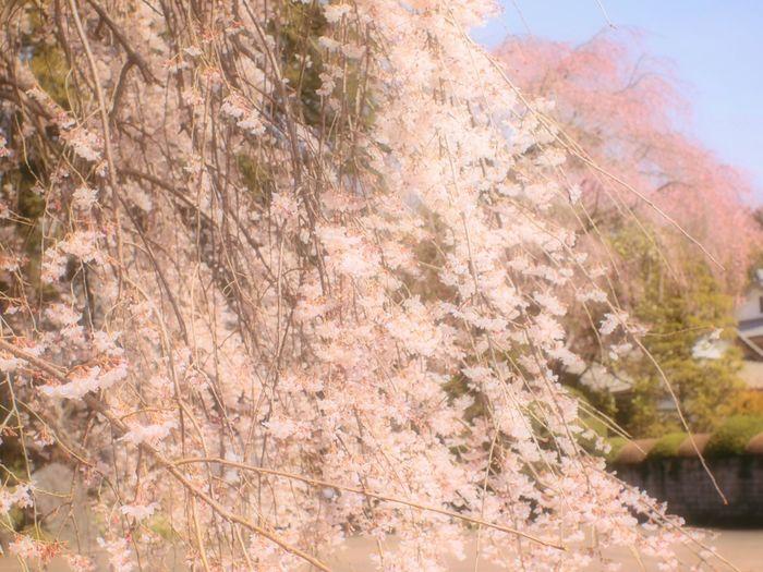 地蔵院の枝垂桜。 Spring Colours Colors 春 Spring Bokeheffect Japan Airy Blossom Pink 桜 Sakura Cherry Blossoms Japanese Temple