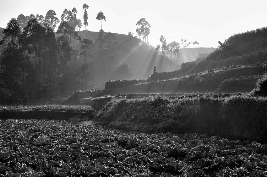 And the sun goes shine Agriculture Bandung Black & White Blackandwhite Blackandwhite Photography INDONESIA Landscape Monochrome Monochrome Photography Mountain Nature Outdoors Pangalengan Rayoflight Rol Sky Sun Sunrise