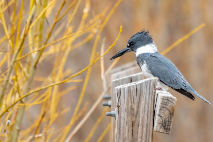 Vertebrate Animal Themes Animal Wildlife Animal Animals In The Wild Bird One Animal Perching Wood - Material No People Focus On Foreground Nature Plant Tree Day Heron Close-up Outdoors Water Bird Selective Focus Beak Wooden Post Kingfisher