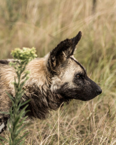 Mammal No People Grass Nature Wild Dog Painted Wall Africa Beauty In Nature Wildlife Wildlife Photography One Animal Animal Themes Animal Canine Dog Domestic Domestic Animals Pets Vertebrate Looking Looking Away Field Plant Focus On Foreground Land Day Profile View Animal Head
