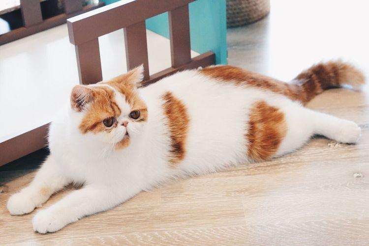 Exotic Flat Face Persian Shorthair Cat Cute Cute Pets