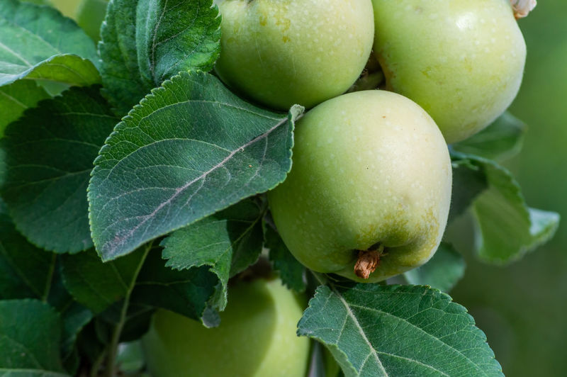 Green Apples Apples Beauty In Nature Close-up Focus On Foreground Food Freshness Fruit Fruit Tree Green Color Growth Healthy Eating Leaf Nature No People Plant Plant Part Tree Wellbeing