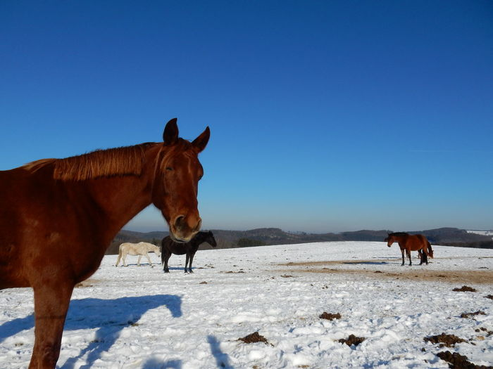 Horses standing on snow field against clear sky during winter