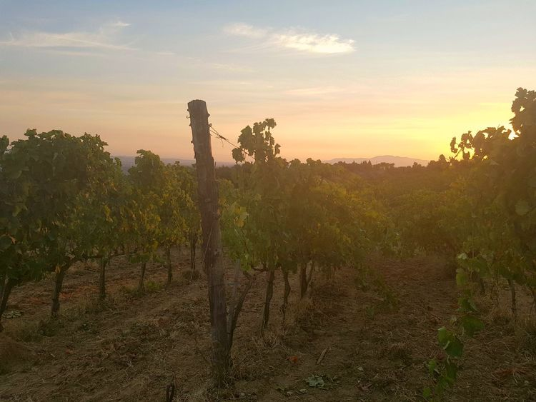 Vino from Montalbano Sunset Nature Growth No People Plant Silhouette Outdoors Landscape Rural Scene Sky Tree Day Tourism Italy❤️ Travel Destinations Your Ticket To Europe Toskana Toskana,italy Food And Drink Tuscany Countryside Nature Beauty In Nature V Vino Rosso Vinoitaliano Lifestyles