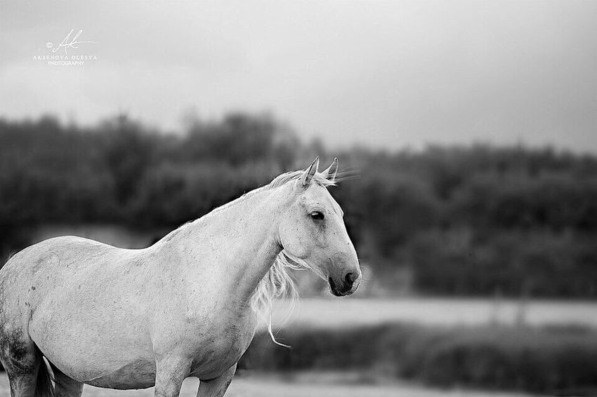 Beauty In Nature Horse Lifestyles Pets Equestrian Equine Photography Equine Photographer Horse Photography  Horse Riding Monochrome Photography Animal Themes Nature Miass Horse Photo