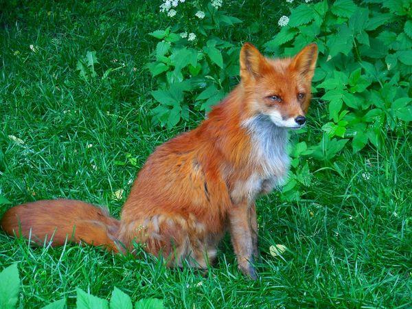 лиса зеленый рыжая рыжеесчастье зоопарк московскийзоопарк московский зоопарк Fox Animal Moscow Zoo Zoo