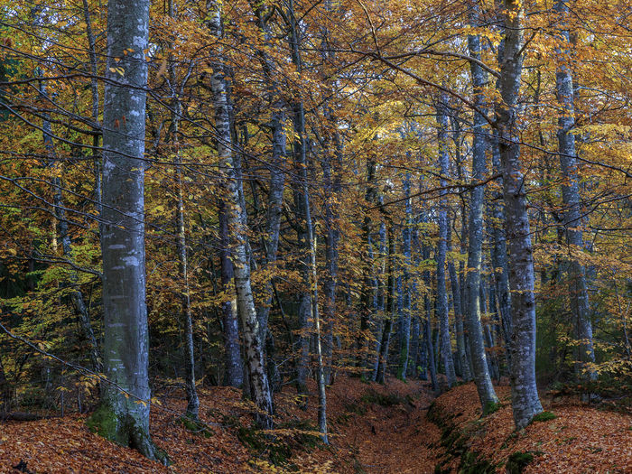 Beech trees in autumn Autumn Autumn Colors Sweden Autumn Autumn Colours Beauty In Nature Beech Day Forest Leaves Nature No People Orange Color Outdoors Scenics Sky Sweden Nature Tranquility Tree Tree Trunk