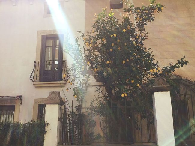 Tree Architecture Building Exterior Built Structure Growth Nature No People Low Angle View Branch Outdoors Leaf Lemon Tree Day Sky Spring Lemons SPAIN Sunray