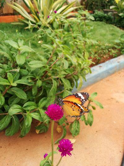 Butterfly Freshness Garden Monarch Butterfly Outdoors Purple Flower Purple PURPLE GOMPHRENA