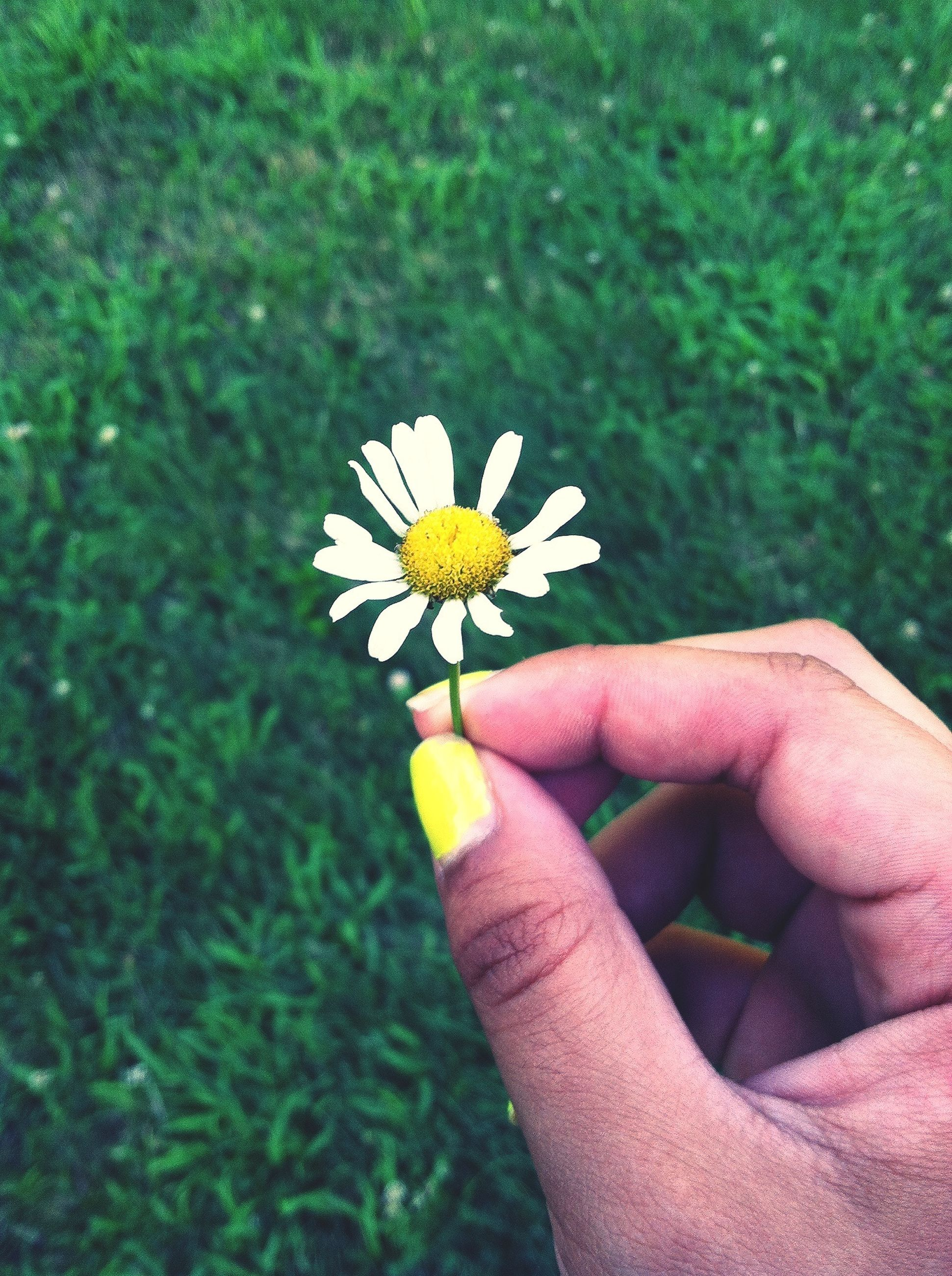 person, flower, holding, petal, fragility, freshness, part of, flower head, human finger, personal perspective, cropped, single flower, unrecognizable person, beauty in nature, lifestyles, leisure activity, close-up