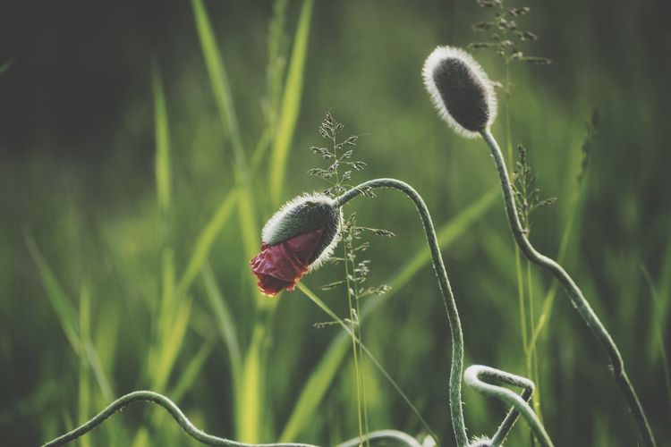 Poppy Poppies  Poppy Flowers Close-up Grass Plant Growing Young Plant Flower Head Blooming In Bloom