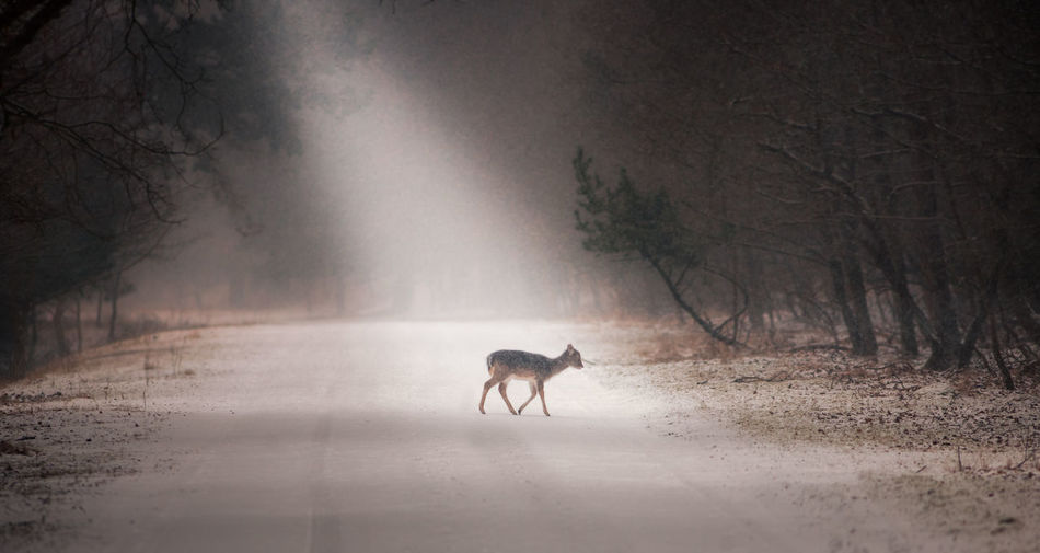 Walking in a winter wonderland Animal Themes Animals In The Wild Beauty In Nature Cold Temperature Day Deer Deer Deersighting Full Length Landscape Landscape_Collection Lightbeam Mammal Nature No People One Animal Outdoors Snow Tree Wild Wildlife & Nature Wildlife Photography Winter