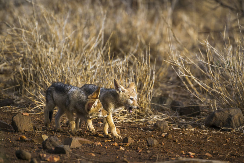 High angle view of jackals walking in forest