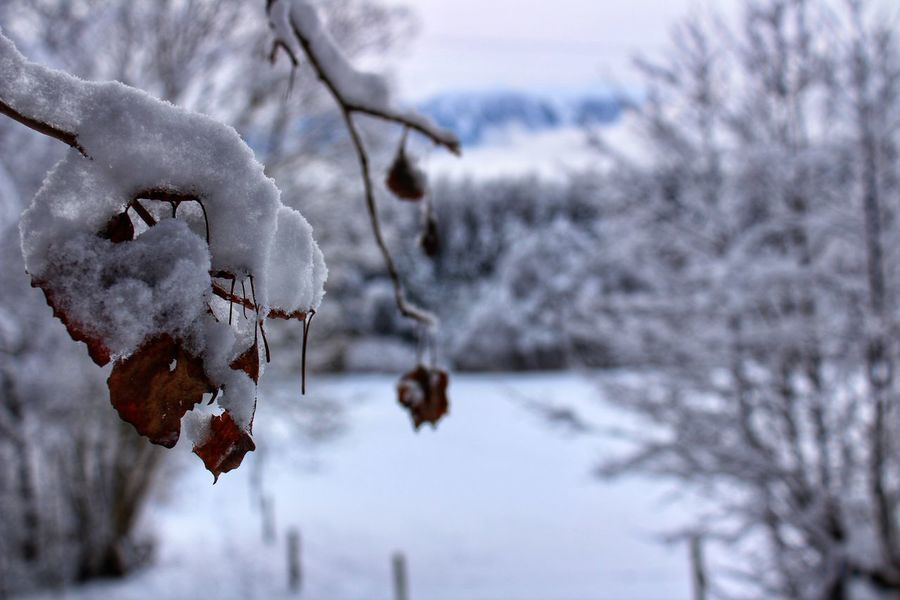 Snow Snow Cold Temperature Frozen Nature Tree No People Close-up Beauty In Nature Outdoors Day Branch