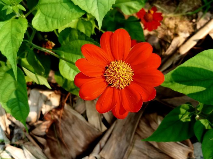 Beauty In Nature Close-up Day Flower Flower Head Flowering Plant Focus On Foreground Freshness Growth Leaf No People Outdoors Plant Plant Part Red
