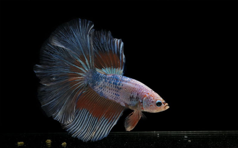 Siamese fighting fish colorful fish on a black background, halfmoon betta