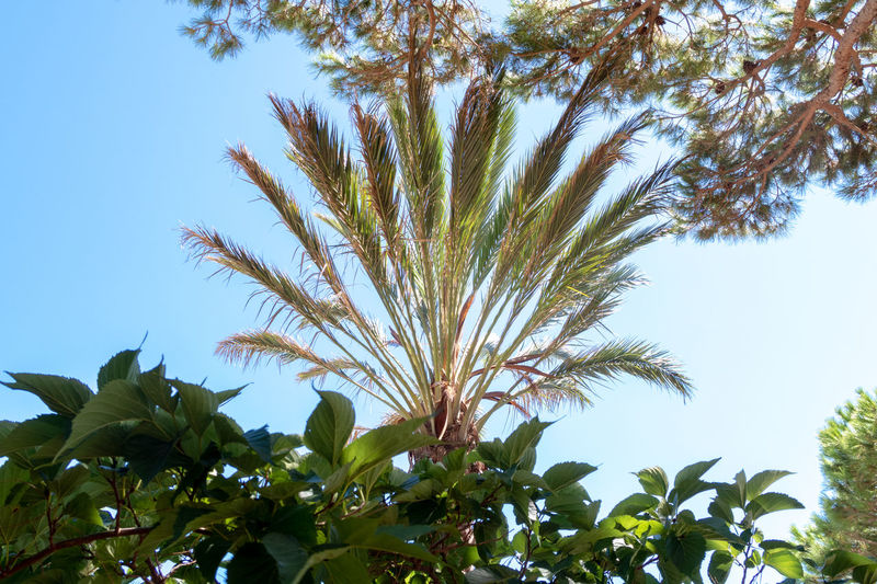 Mediterranean  Beauty In Nature Branch Clear Sky Close-up Day Freshness Green Color Growth Leaf Low Angle View Nature No People Outdoors Palm Leaf Palm Tree Plant Plant Part Sky Tranquility Tree Tropical Climate