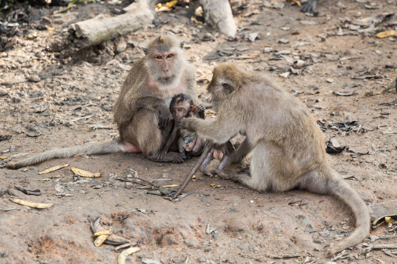 Long-tailed macaques with infants at zoo