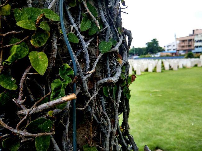 EyeEm Selects Green Climber Pillar Shrine Evening Outdoors Cemetery War Memorial Close Up Madras War Cemetery 1914-1918 Second World War