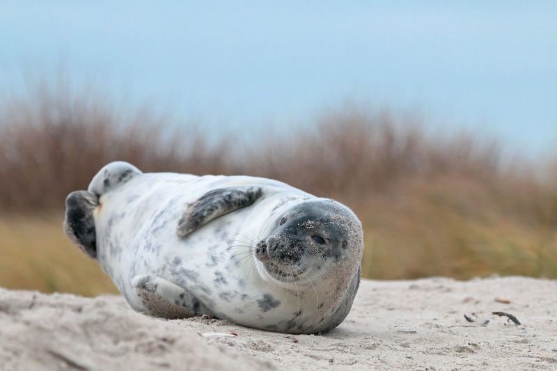 Seal relaxing on sandy beach