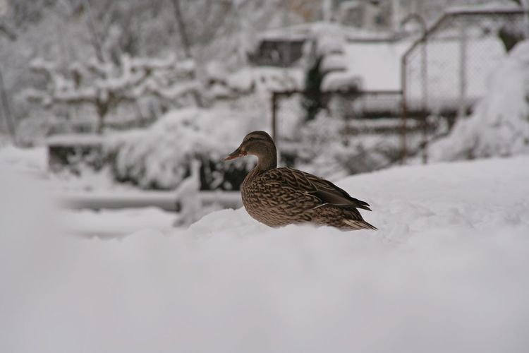 Bird Cold Cold Temperature Duck It's Cold Outside Lake Lake Zürich Nature Snow Snow Capped Snow Covered Water Winter Winter Trees Winter Wonderland With Canon Eos 350d Here Belongs To Me The Great Outdoors With Adobe