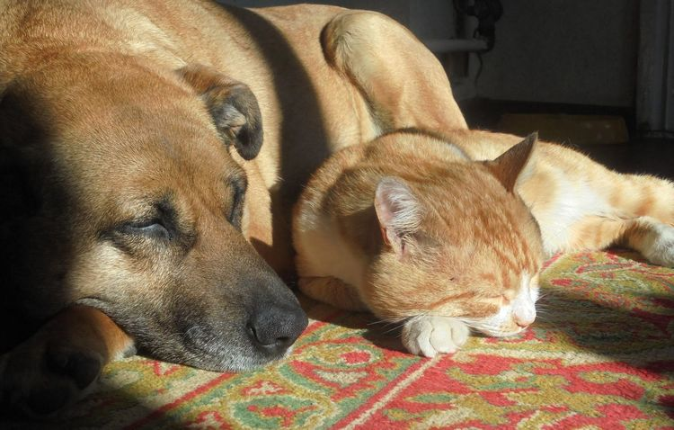 Friends Redhead Animal Themes Cat Dog Domestic Animals Eyes Closed  In The Sunshine Indoors  Lying Down Mammal Pets Relaxation Sleeping