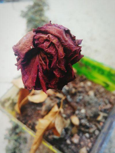 Flower Dry Rose - Flower First Eyeem Photo