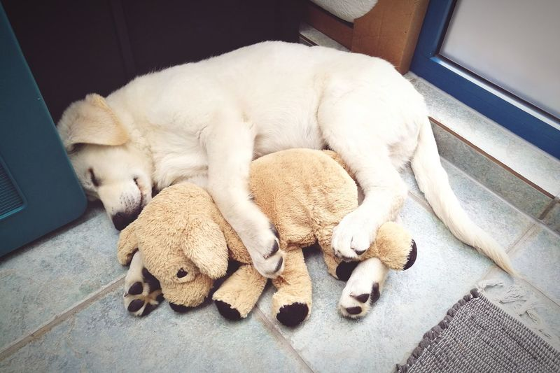 Sleeping Animal High Angle View Lying Down Cute Stuffed Toy Close-up Pets Indoors  Animal Themes Puppy White Shepherd Dog Soft