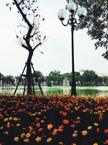 MyHanoi Autumn Colors Flower Hoan Kiem Lake Tháp Rùa