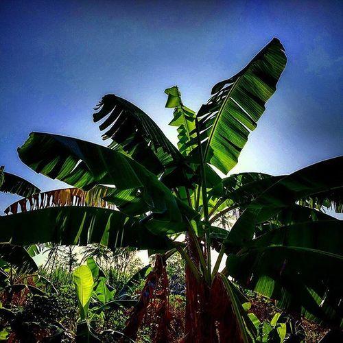 Banana plant against the already hot morning sun Flora Trinidad Vegetation Tunapuna