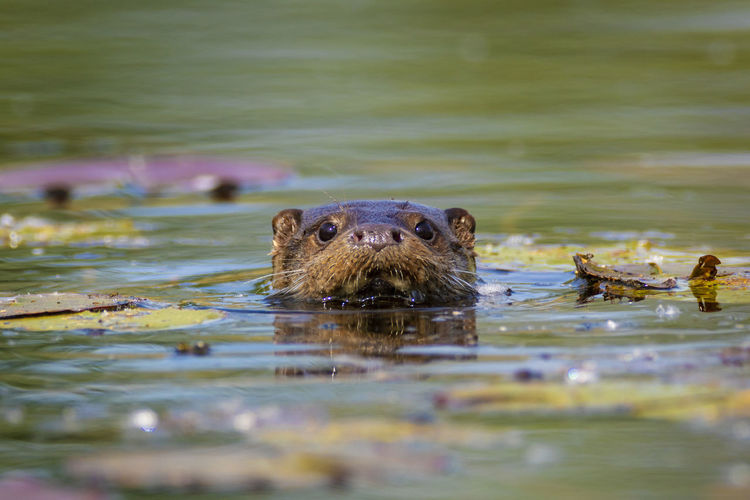 Portrait of turtle in lake