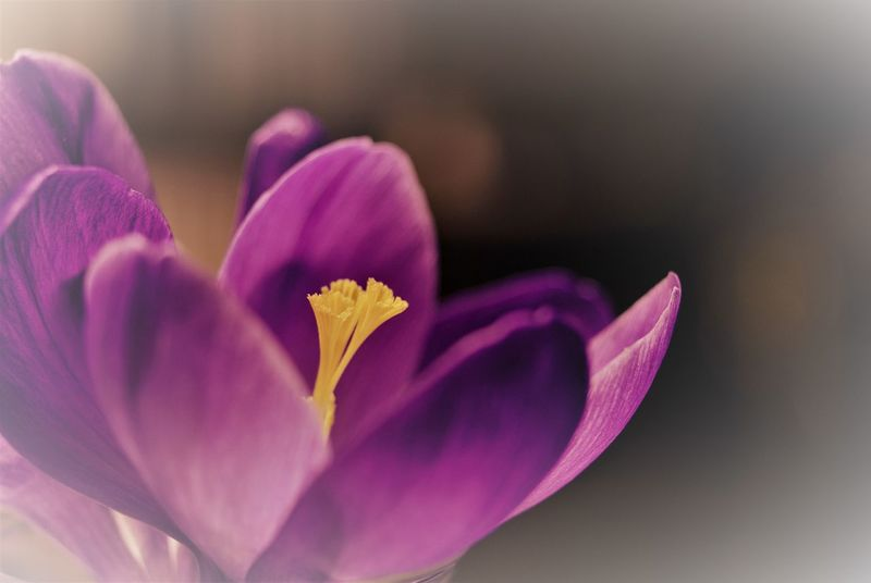 floral theme still life Beauty In Nature Botanical Species Close-up Crocus Crocuses Floral Pattern Flower Flower Head Flowering Plant Focus On Foreground Fragility Growth Indoors  Inflorescence Nature No People Petal Pink Color Plant Pollen Purple Selective Focus Softness Still Life Vulnerability