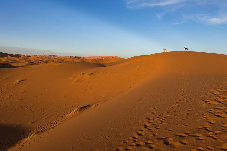 Erg Chebbi desert at sunset, Sahara, Morocco Morocco Arid Climate Atmospheric Beauty In Nature Brown Climate Desert Dog Environment Erg Chebbi Land Landscape Merzouga No People Non-urban Scene Outdoors Remote Sahara Sand Sand Dune Scenics - Nature Sky Sunlight Tranquil Scene Tranquility
