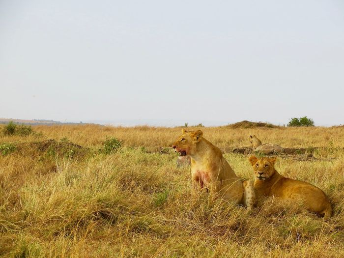 Three Lionesses On Field Against Clear Sky