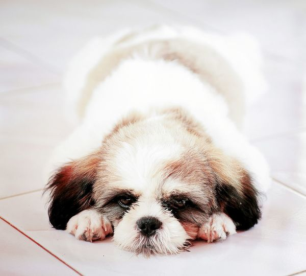 Pets Dog Puppy