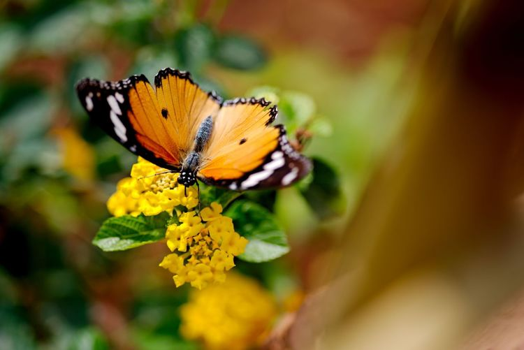 High angle view of butterfly on yellow lantana camara