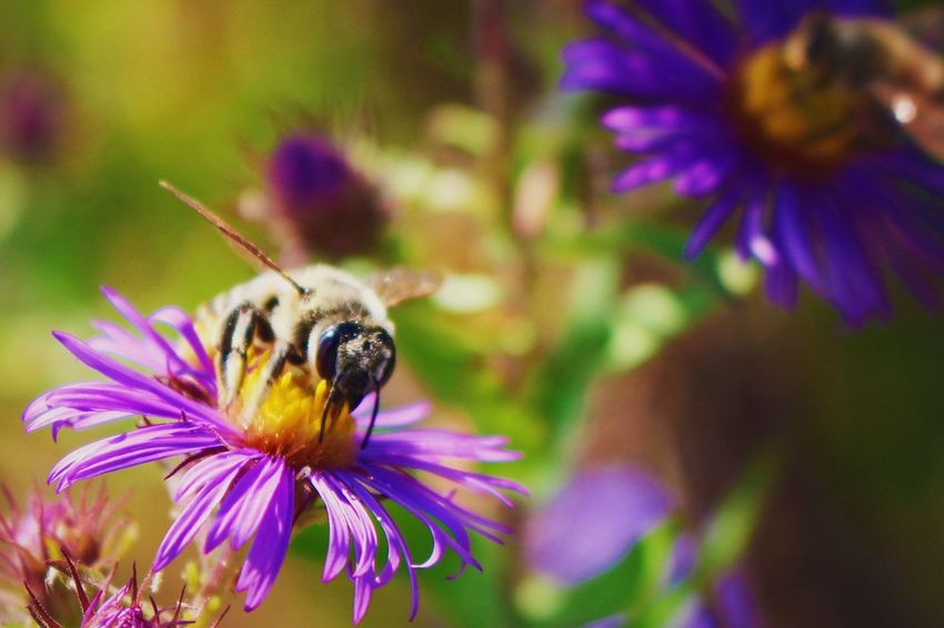 Flower Insect Purple Animal Themes Animals In The Wild Petal One Animal Fragility Nature Bee Growth Beauty In Nature Freshness Plant Bumblebee Symbiotic Relationship Flower Head Wildlife Honey Bee