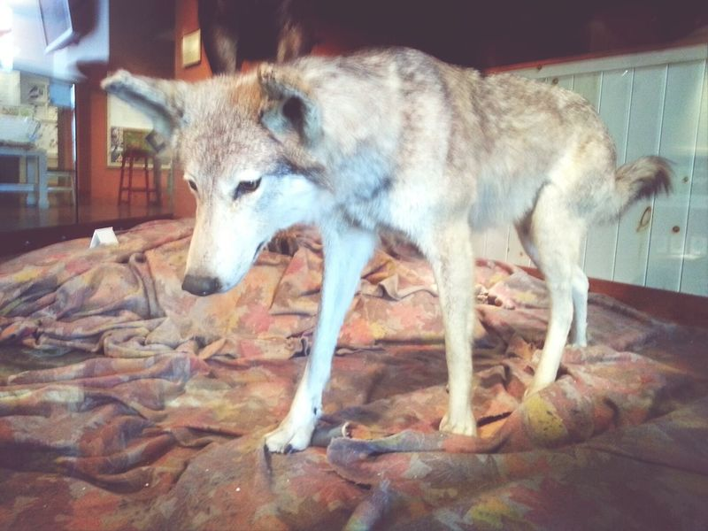 grey wolf from the ROM