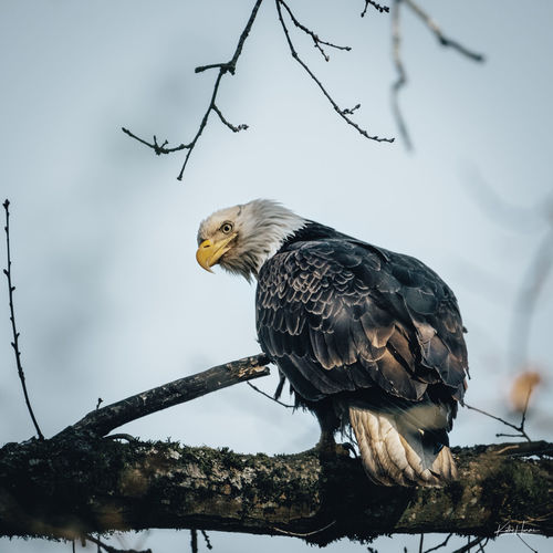 Low angle view of eagle perching on branch