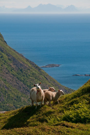 Sheep by sea against sky