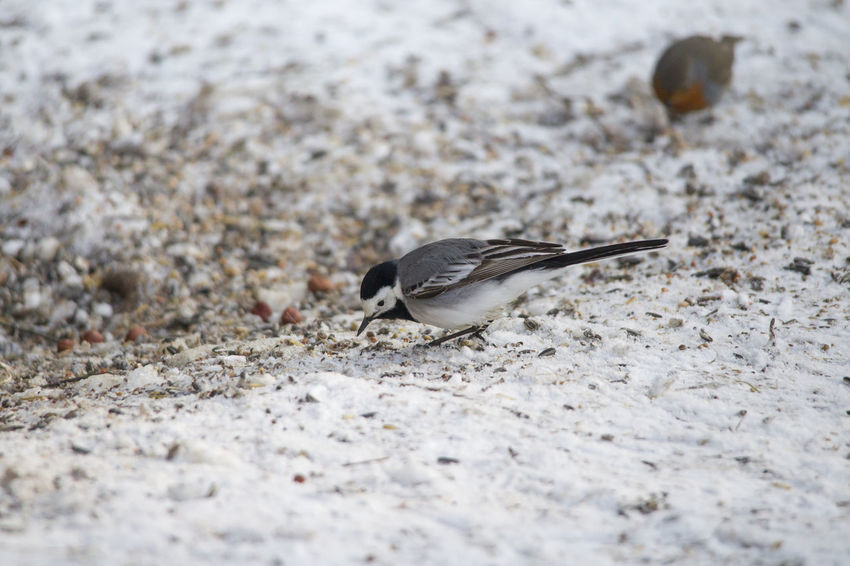 A wagtail runs freezing through the snow at a feeding place in the forest looking for food Animal Themes Animal Wildlife Animals In The Wild Bird Close-up Day Food Nature No People One Animal Outdoors Perching Sand Selective Focus Sparrow