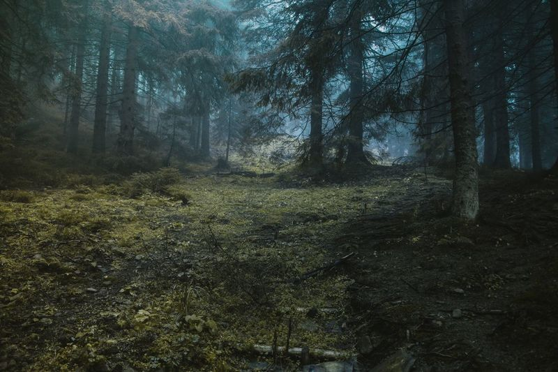 Day No People Green Flora Shadows Nature Tree Tree Area Forest Branch Tree Trunk WoodLand Grass Landscape Sky Foggy Pine Woodland Mist Weather Fog