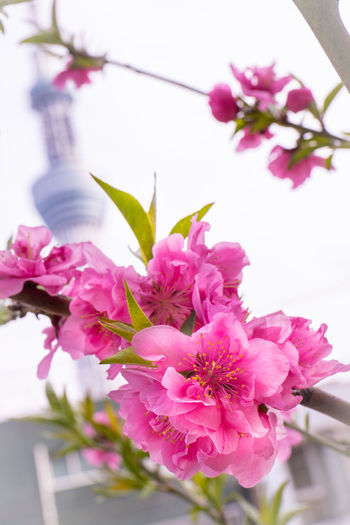 Cherry Blossom with Tokyo SkyTree in Background Flowering Plant Flower Plant Pink Color Freshness Fragility Growth Beauty In Nature Vulnerability  Blossom Petal Close-up Nature No People Tree Branch Springtime Inflorescence Day Flower Head Outdoors Cherry Blossom Cherry Tree Bunch Of Flowers Spring