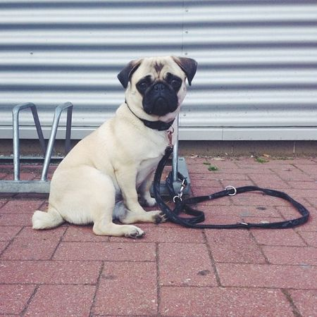 Germany Berlin Schonefeld Waltersdorf Pug Puggy Dog