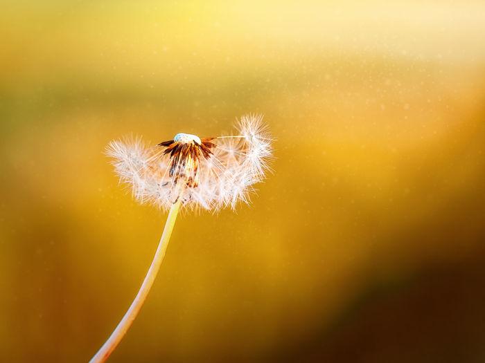 Dew Flower Head