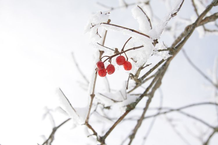 Snowminimals Blackforest Minimalism The Purist (no Edit, No Filter) EyeEm Nature Lover Nature On Your Doorstep Red Urban Gardening Winter Wintertime Winter Wonderland WhiteCollection Minimalobsession Simplicity My Winter Favorites Fine Art Photography Colour Of Life Perspectives On Nature Twig Red Berries Beauty In Nature