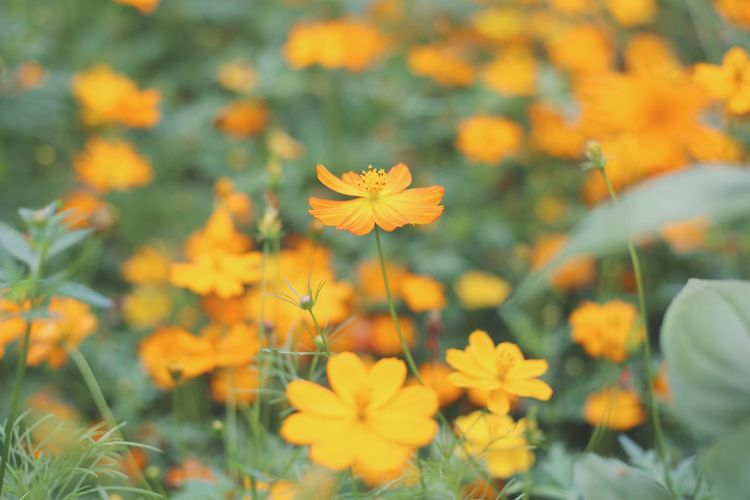 orange cosmos Cosmos Flower Orange Flower Head Flower Yellow Summer Multi Colored Petal Beauty Uncultivated Springtime Close-up
